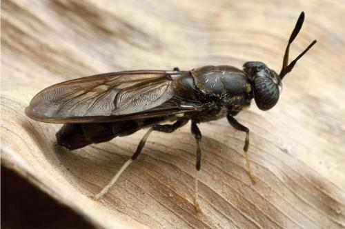 Black-Soldier-Fly